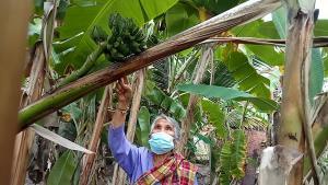 นางหนูพูน อุทัยดา เจ้าของบ้าน พาไปดูต้นกล้วยประหลาดในสวนหลังบ้าน ที่ออกลูกแทงหวีกลางลำต้น