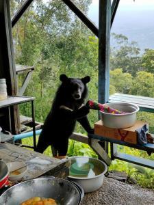 """ลูกหมีควายบุกมาชิมไข่เจียว (ภาพจาก กลุ่มเฟซบุ๊ก """"เขาใหญ่ อุทยานแห่งชาติเขาใหญ่ Khaoyai National Park)"""