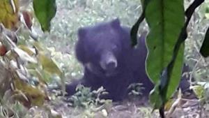 พบหมีควายตาฟางพลัดหลงป่าเข้าชุมชน  จ.สระแก้ว  จนท.เร่งจับตัวไปดูแลเหตุไม่สามารถอยู่ได้เองตามธรรมชาติ