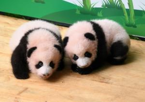 แพนด้าแฝดคู่แรกในสวนสัตว์ฉงชิ่ง (ภาพ : ซินหัว)