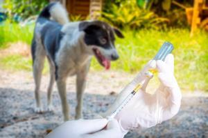 """เตือน!! """"พิษสุนัขบ้า"""" โรคติดต่อถึงตาย สัตวแพทย์ จุฬาฯ ไขทุกข้อควรรู้"""
