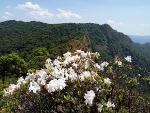 ดอกกุหลาบพันปี (ภาพจาก อช. เขาแหลม)