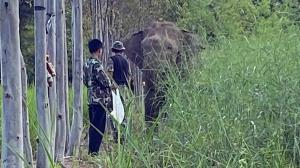 เจอแล้ว! ช้างป่าสีดอแก้วหลังพังรั้วไฟฟ้าสถานกักกันช้างป่าเขาตะกรุบออกนอกพื้นที่