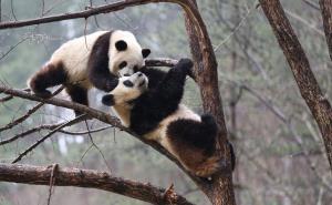 แพนด้ายักษ์ในฐานฝึกฝนแพนด้าป่าฉินหลิ่ง เขตอนุรักษ์ธรรมชาติโฝผิง มณฑลส่านซีทางตะวันตกเฉียงเหนือของจีน วันที่ 2 เม.ย. 2020