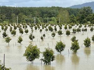 เผยภาพสวนทุเรียนเมืองจันท์ถูกน้ำท่วมขังเป็นวงกว้าง ชาวบ้านหวั่นอีก 3 วันไม่ลดเสียหายหนัก