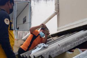 กู้ภัยเบตงทั้งมุด-ปีนป่ายช่วยกันจับตัวเงินตัวทองแอบซุกใต้หลังคาบ้านชาวบ้าน